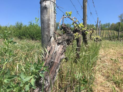 Case vingård