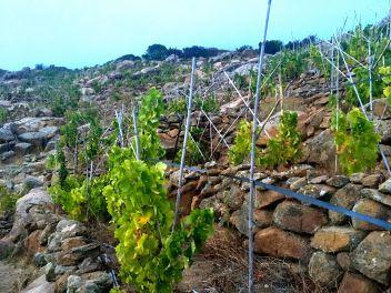 Vigneto Altura vingård