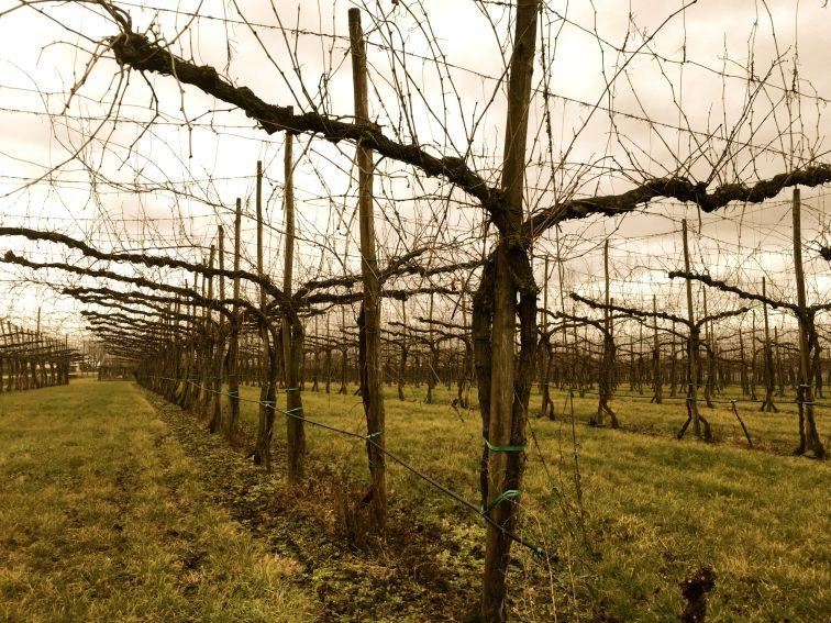 Novebolle vingård