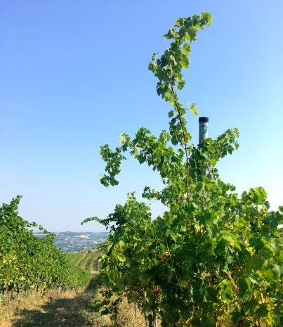 Novebolle vingrård 2